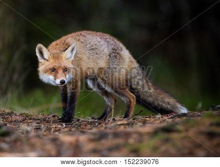 Red Fox - Vulpes vulpes, outdoor, close-up.