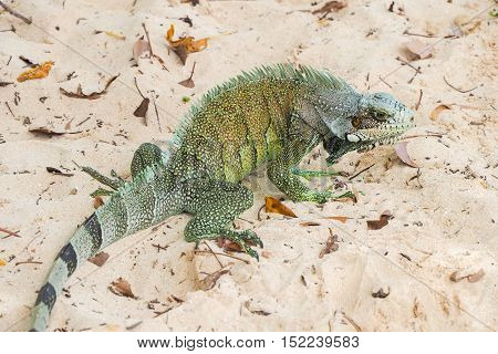 Big example of iguana (iguanidae) on a sandy caribbean beach in Guadeloupe
