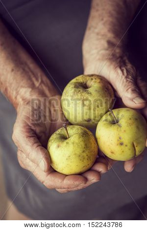 Top view of wrinkled woman's hands holding bunch of organic Golden Delicious apples. Selective focus