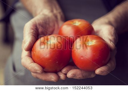 Detail of wrinkled woman's hands holding a handful of red ripe tomatoes.