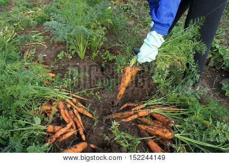 Woman in gloves pulls carrot. The theme of gardening. Woman in gloves pulls carrot