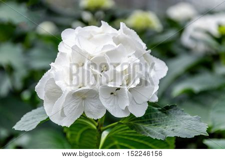 Closeup of a pure white blooming Hydrangea macrophylla plant in a specialized Hydrangea cut flowers nursery in the Netherlands.