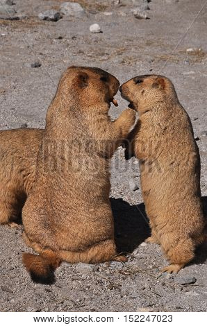 LEH, JAMMU AND KASHMIR, INDIA-OCTOBER 1, 2014: Baby Himalayan Marmots asking Mom for  biscuit at Leh, Jammu and Kashmir, India.  The Himalayan Marmots (Marmota Himalayan) are large ground squirrels about the size of a large housecat