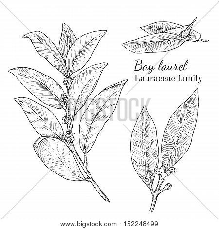 Ink bay laurel herbal illustration. Hand drawn botanical sketch style. Absolutely vector. Good for using in packaging - tea, condinent, oil etc - and other applications