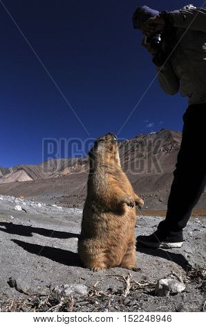 LEH, JAMMU AND KASHMIR, INDIA-OCTOBER 1, 2014: A Tourist taking photograph of a young Himalayan Marmots at Leh, Jammu and Kashmir, India.  The Himalayan Marmots (Marmota Himalayan) are large ground squirrels about the size of a large housecat