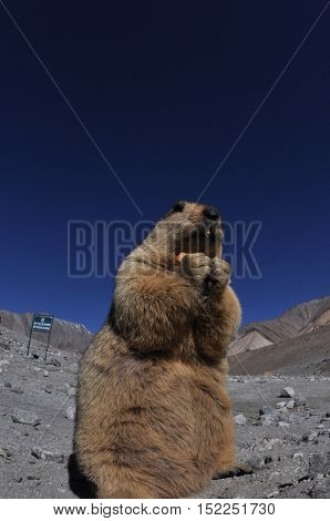 LEH, JAMMU AND KASHMIR, INDIA-OCTOBER 1, 2014: The Himalayan Marmots enjoying biscuit at Leh, Jammu and Kashmir, India.  The Himalayan Marmots (Marmota Himalayan) are large ground squirrels about the size of a large housecat