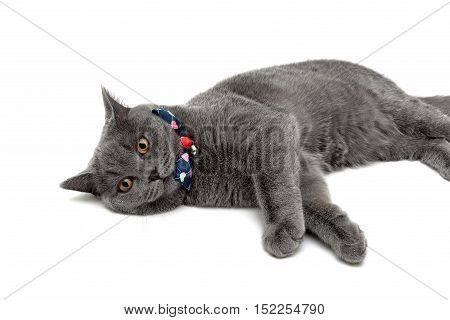 gray cat wearing a collar with bow and jingle on a white background. horizontal photo.