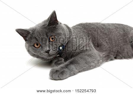 gray cat with yellow eyes lying on white background. horizontal photo.