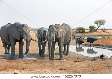 Three elephants next to a waterhole in Hwange National Park with buffalo taking a drink in the background