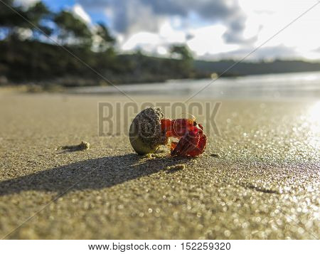 A hermit crab walking in the beach, Galicia, Spain