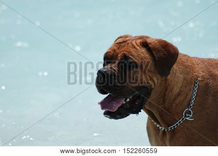 Side view of a Bordeaux Mastiff dog.