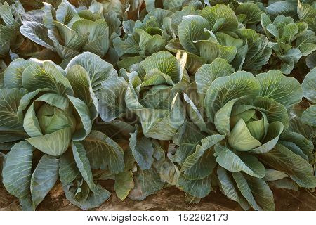 Cabbage closeup. Agricultural background. Fresh vegetarian food