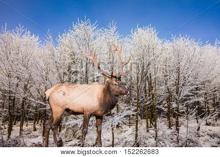 Red deer antlered stands on edge of the forest. Cold sunny Christmas morning
