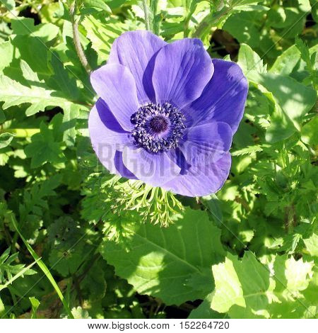 Crown Anemone flower isolated in park of Ramat Gan Israel February 17 2007