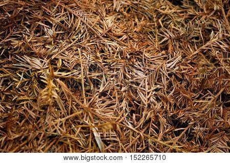 Forest carpet of fallen dry twigs of conifers