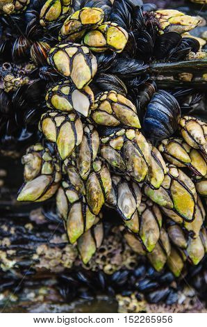 Goose barnacles and mussels attached at rocks in galician coast. goose neck barnacles are known in spain as percebes and are much apreciated as seafood