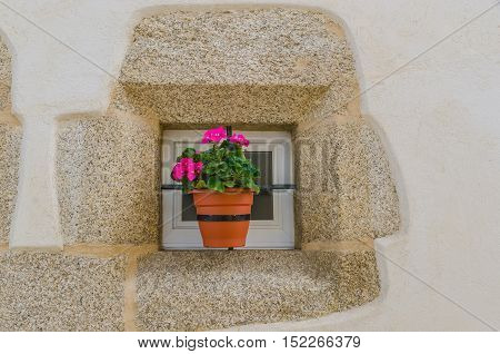Pink geranium in a plant pot hanging on the window
