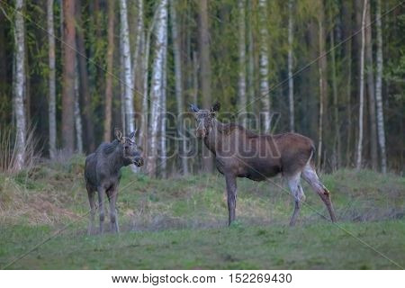 Moose In The Autumn Forest