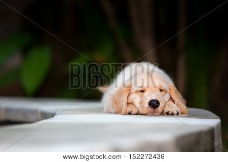 Funny photo of lazy little golden retriever labrador puppy lying stretched and relaxing. Training dogs fun games and activities with family pet on summer vacations and weekends.