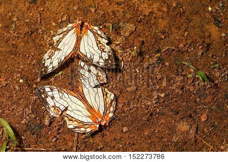 Close up of Common Map (Cyrestis thyodamas) butterfly on the ground in nature