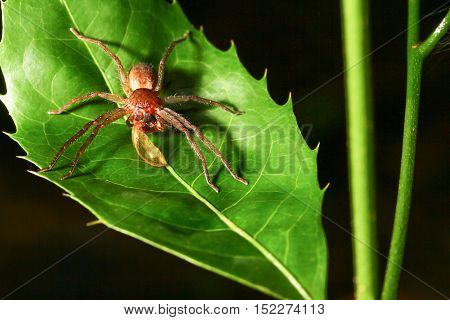 Sparassidae spider on green leaves in wild
