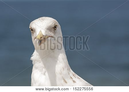 The seagulls head against Baltic Sea waters is shown up close. It is in Kolobrzeg in Poland.