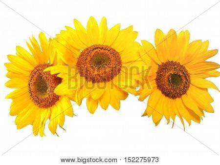 Beautiful sunflowers are on a white background