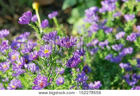 Several autumn purple flowers on green background