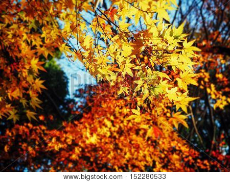 Yellow autumn leave in the forest in Japan for background