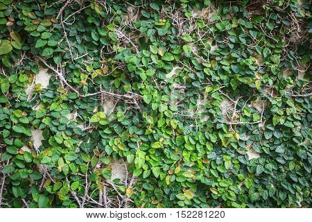 Background of Coatbuttons or Mexican daisy on the wall. Abstract nature background with Plant wall. Green leaf wall nature background. Creeper plant texture background. Dark edged.