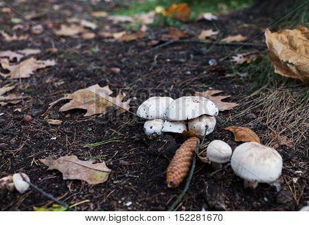 Wild Champignon Mushroom Grows In The Wild Environment
