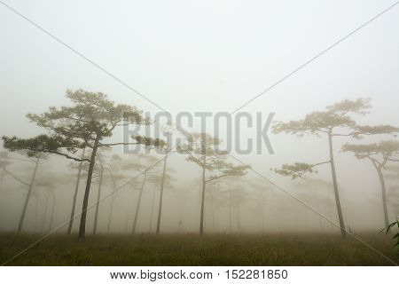dark misty forest with pine trees in morning at Phu Soi Dao Thailand.
