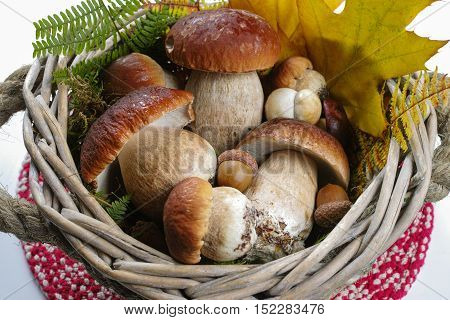 Fresh wild porcini mushrooms (boletus edulis) in wicker basket with yellow leaves