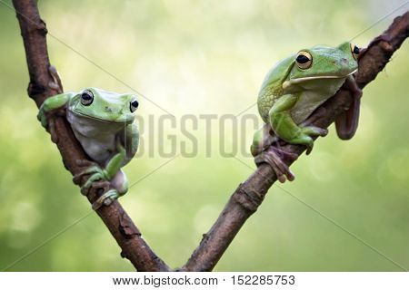 Dumpy frog,  tree frog sitting on branch