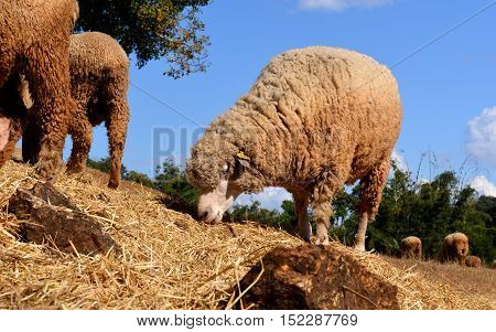 Sheep In Zoo Farm For Traveler