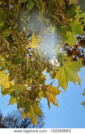 Colorful autumn leaves hanging on tree branch with blue sky with sun beams