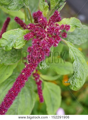 Amaranth plumed cockscomb plant flower with green leaves,close up