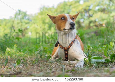 Portrait of cute basenji dog lying on the ground at summer morning (shallow dof)