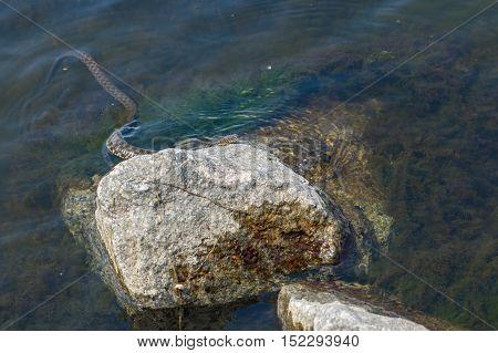 Dice snake (Natrix tessellata) hiding in Dnepr river on a riverside stone