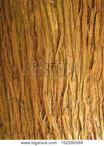 Tree bark texture for background or wallpaper