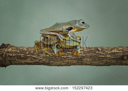 Tree frog, Javan tree frog sitting on branch