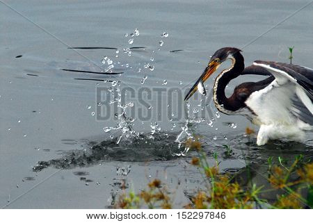 Heron on a successful feeding expedition. . . with fish and splash