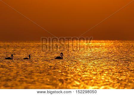 Silhouette of Flamingos walking along the shallow sea during the golden hour at dawn in Askar Beach, Bahrain