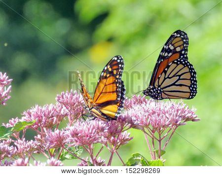 Monarch butterflies in garden on bank of the Lake Ontario in Toronto Canada September 13 2016