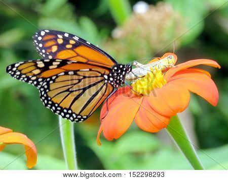 Monarch butterfly and grasshopper in garden on bank of the Lake Ontario in Toronto Canada September 13 2016