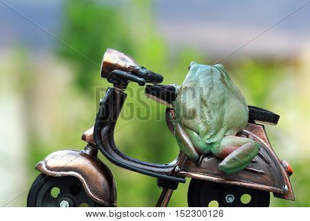 Dumpy frog, a pair of dumpy frog trying to drive a motorcycle toy