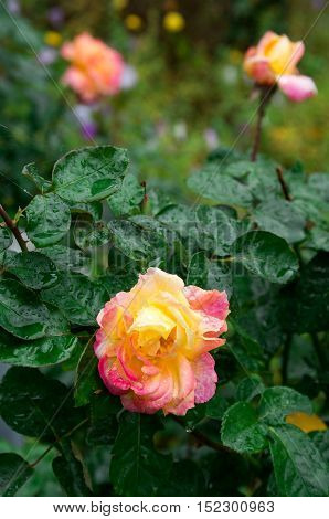 Fades Wet Rose With Drops Of  Rain