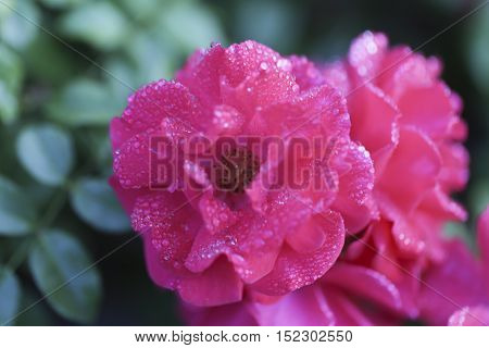 Pink rose with drops of water, green background
