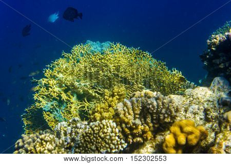 Corals deep in the sea. Clear water. Egypt.