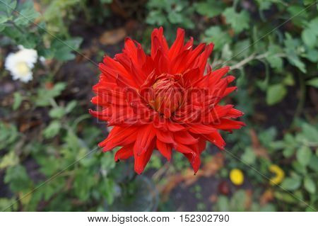 One Dahlia scarlet flower with leaves .